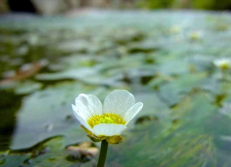 清流の妖精バイカモ(梅花藻)