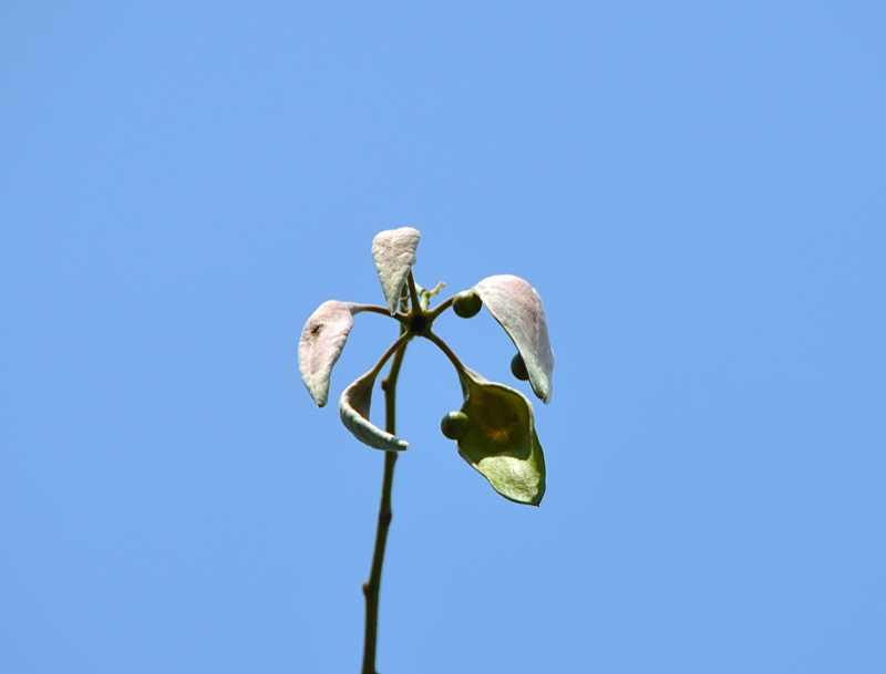 草花メッセージ アオギリの実