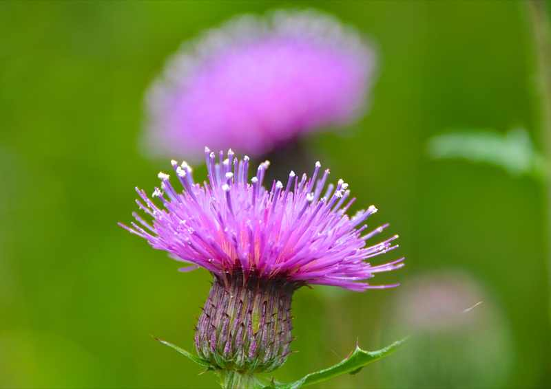 草花メッセージ アザミの風景。