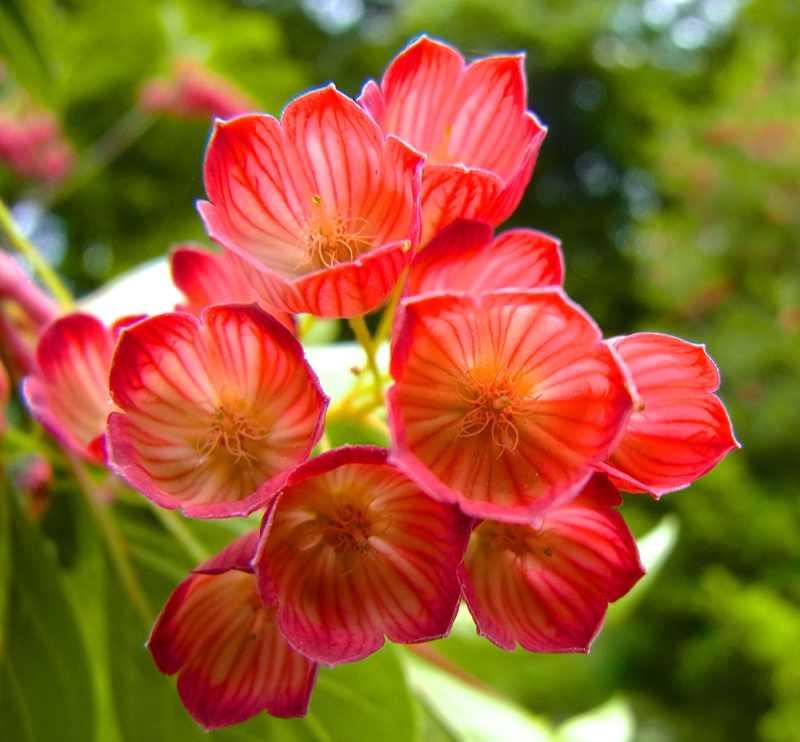 草花メッセージ  見事に満開、ベニサラサドウダン!