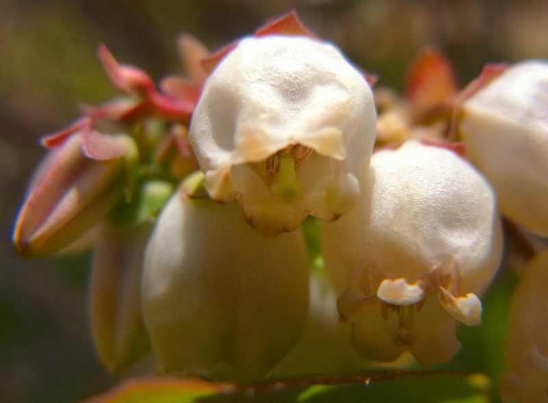 ブルーベリーが咲き始めた。