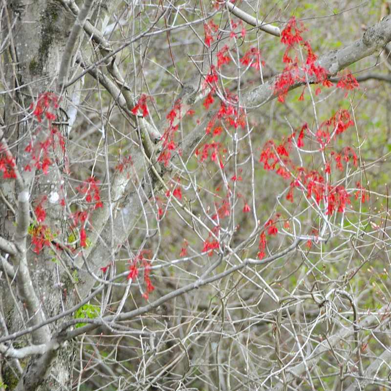 草花メッセージ  真っ赤なハナノキ