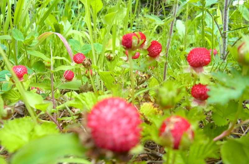 草花メッセージ ヘビイチゴ