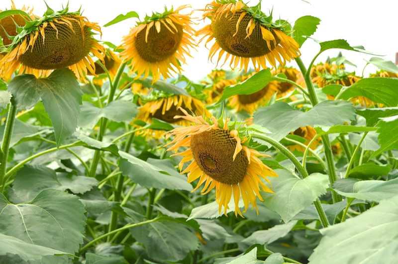 草花メッセージ  夏はヒマワリ(向日葵)