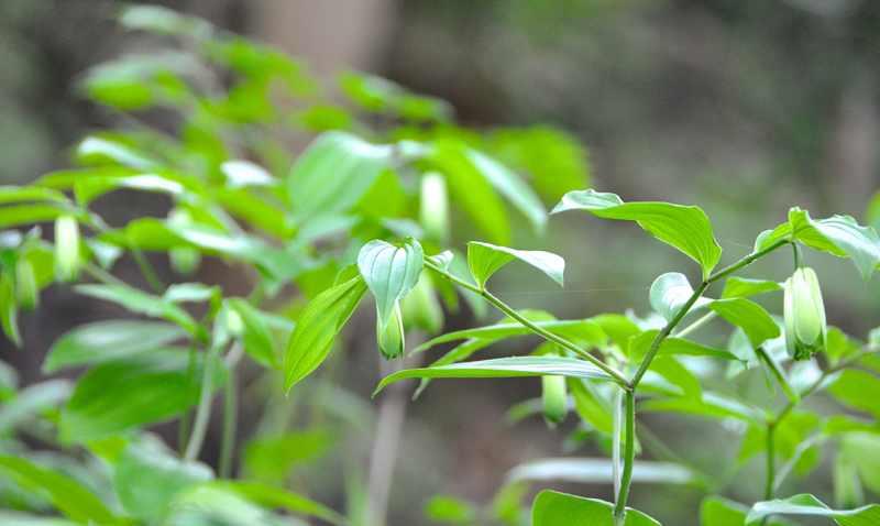 草花メッセージ  ホウチャクソウ(宝鐸草)の咲き始め。