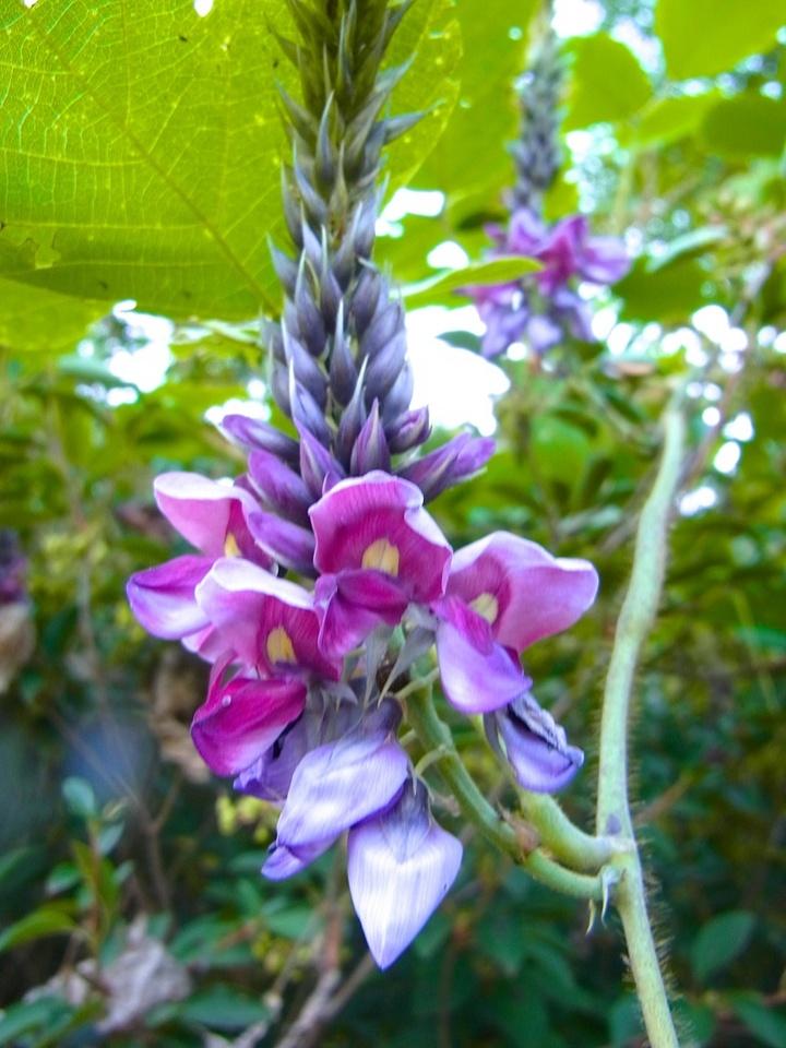 草花メッセージ 甘い香りのクズの花
