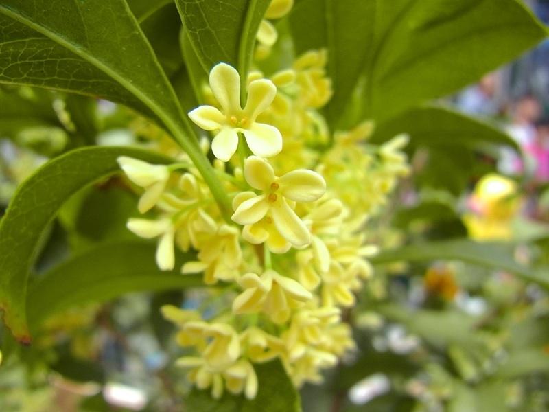 草花メッセージ ウスギモクセイ(薄黄木犀)