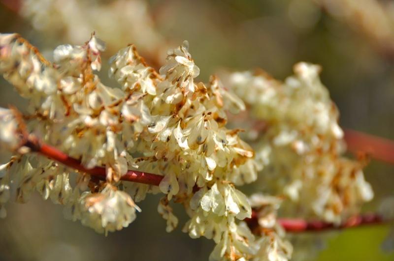草花メッセージ  高原のイタドリは花山盛りで美しかった。 border=