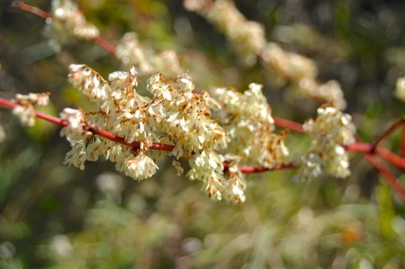 草花メッセージ  高原のイタドリは花山盛りで美しかった。