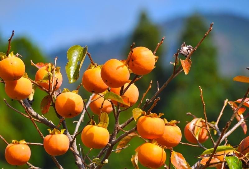 日本の秋、ふるさとの柿。