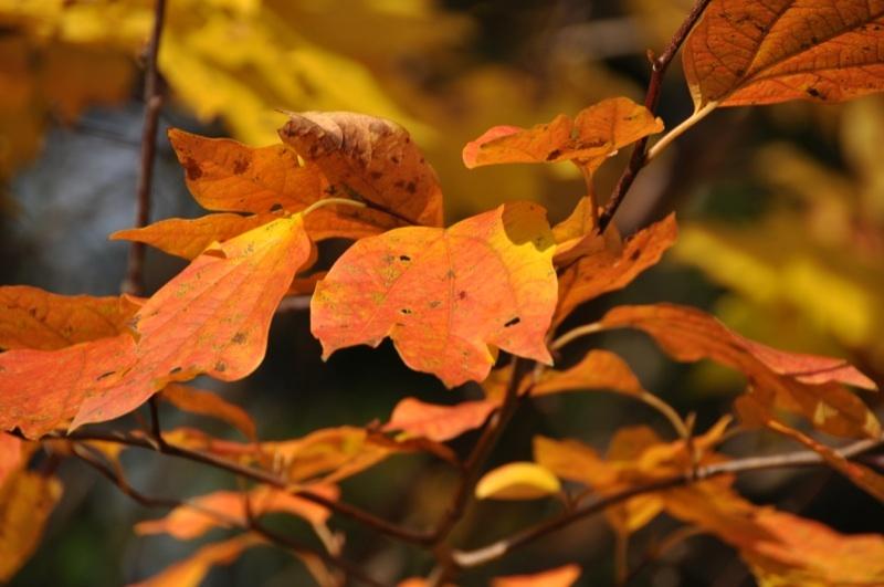 馬籠荒町の堤の紅葉葉
