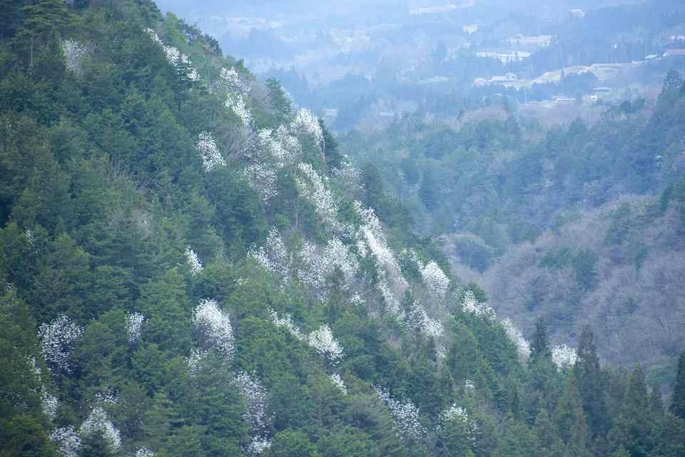 コブシか?タムシバか?希少植物天然林。