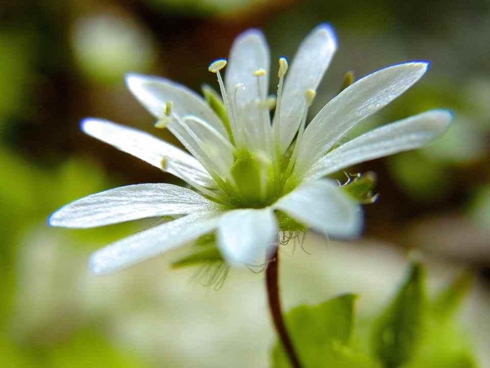草花メッセージ 「ウシハコベ」は美しかった。
