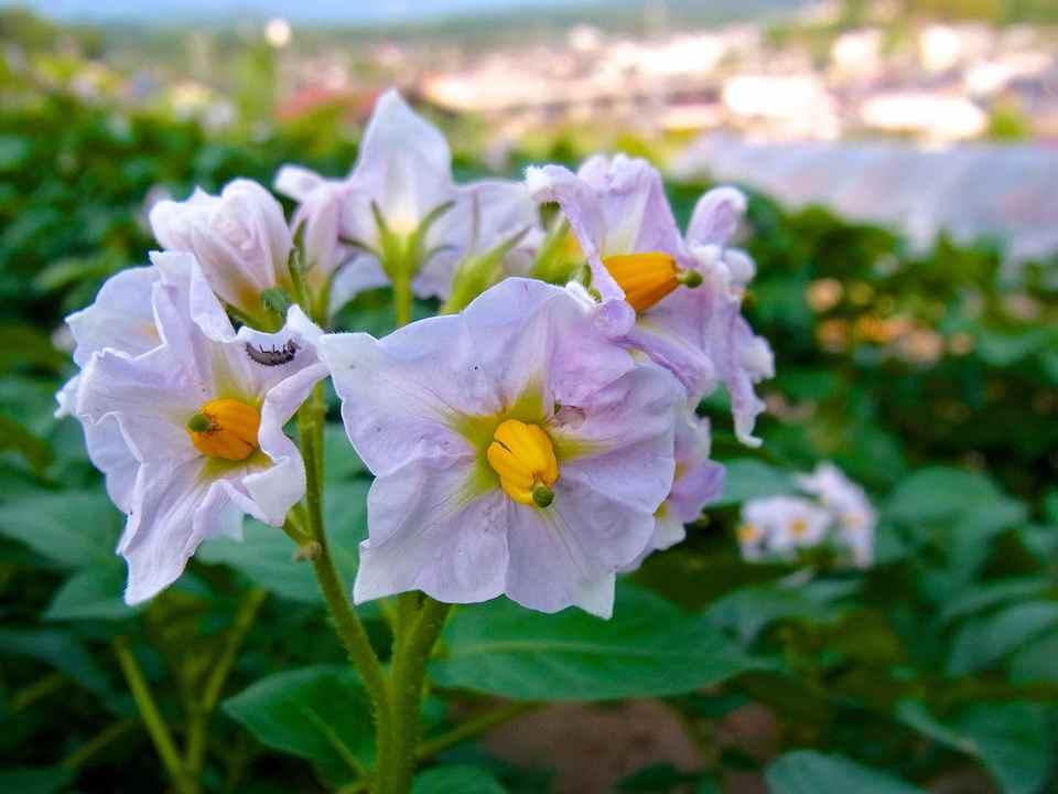 ジャガイモの葉っぱに「テントウムシダマシ」