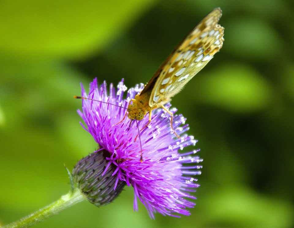 アザミとヒョウモン蝶