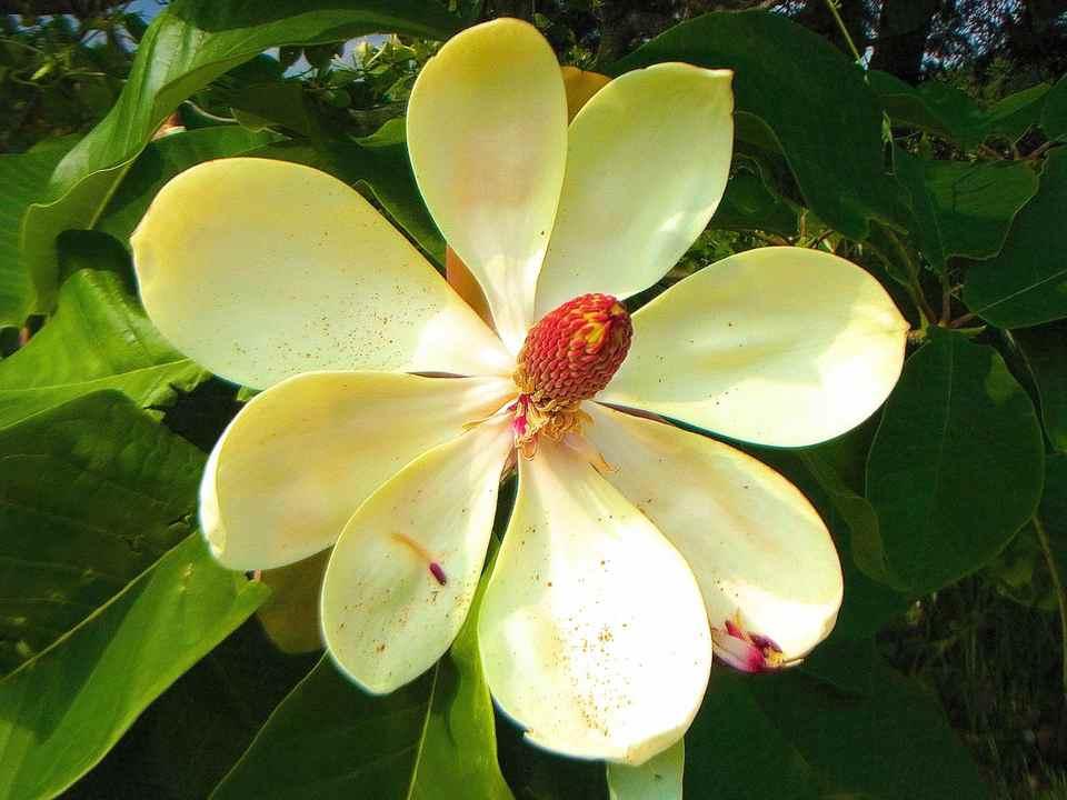 巨大な朴の花の後には異様な実が付いていた。