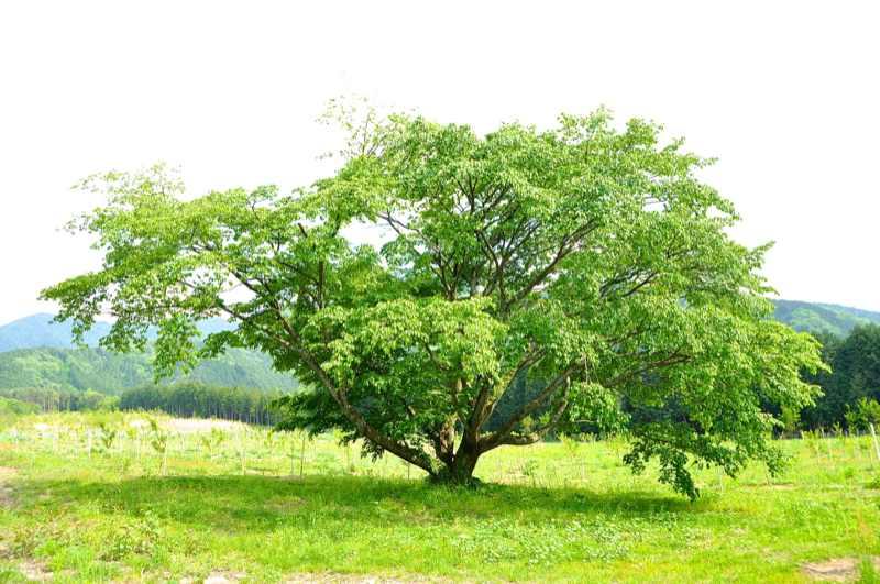 マロンパークの樹木達 border=