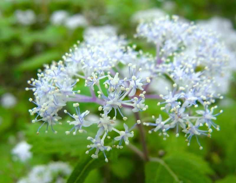 草花メッセージ  この時季一番好きな「コアジサイ」