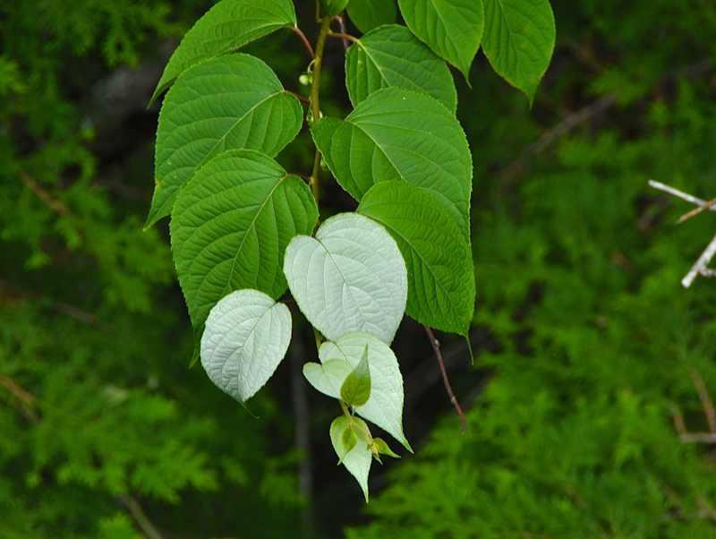 草花メッセージ  白い葉っぱ? マタタビです。