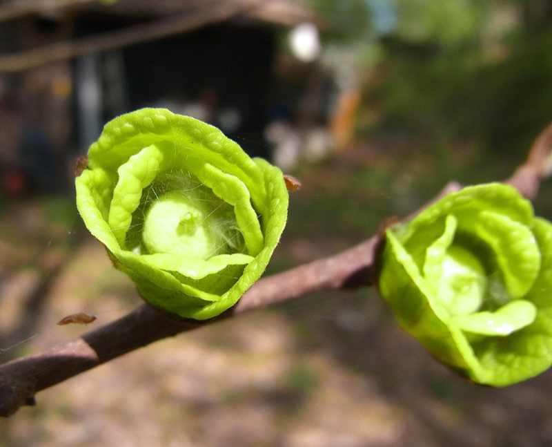 草花メッセージ  ポポー、今年も咲き出した。