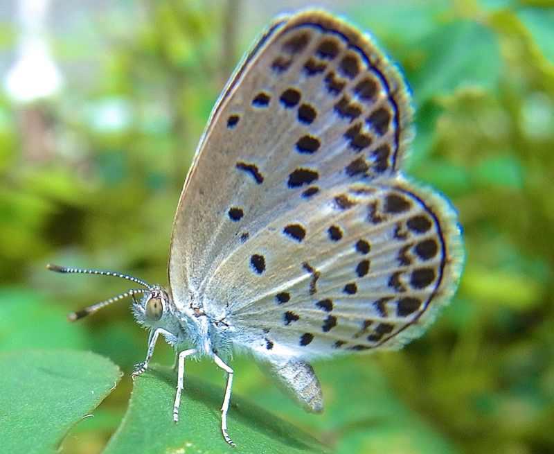 ヤマトシジミ蝶とカタバミの関係