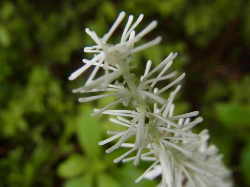 草花メッセージ 不思議な形の「シライトソウ」