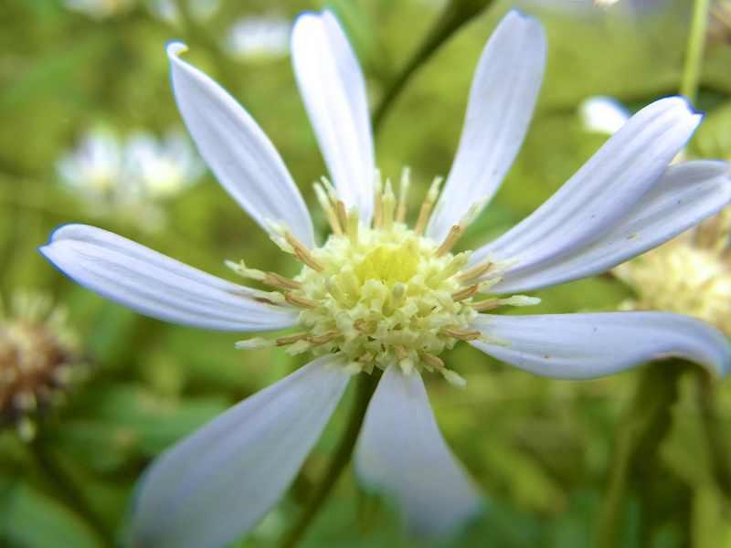 草花メッセージ シラヤマギク