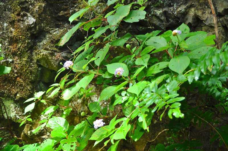 草花メッセージ  タマアジサイが咲き始めた。