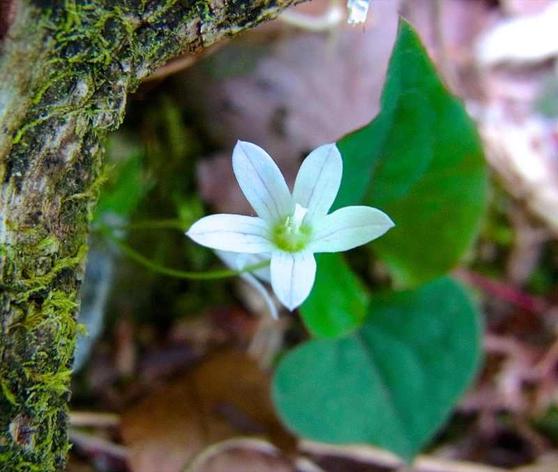 草花メッセージ 森の妖精 タニギキョウ