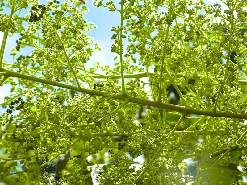草花メッセージ タラノキ(楤木)満開