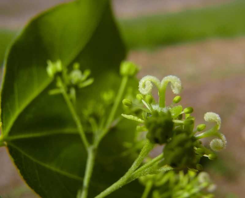 草花メッセージ トウカエデの花