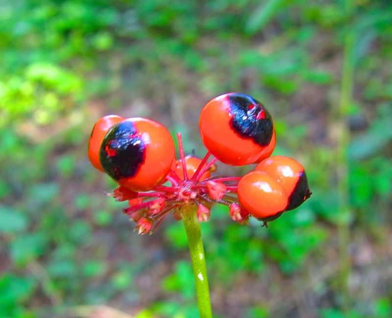 トチバニンジンが赤く熟し始めた。