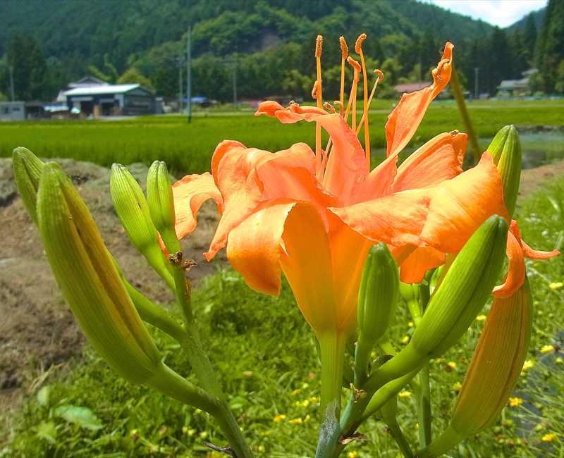 草花メッセージ  ヤブカンゾウは八重咲き