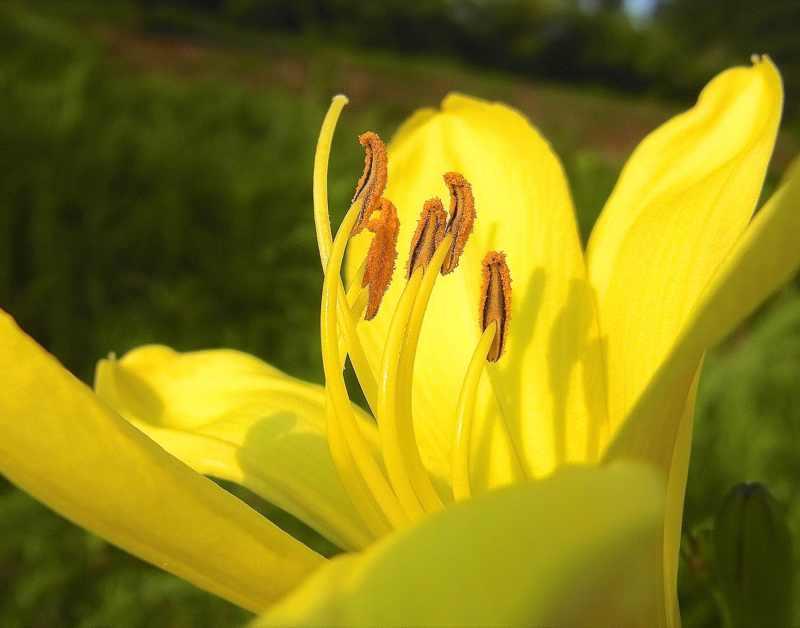 草花メッセージ  黄色美人「ユウスゲ」