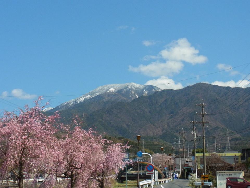 雪化粧の恵那山と満開のしだれ桜