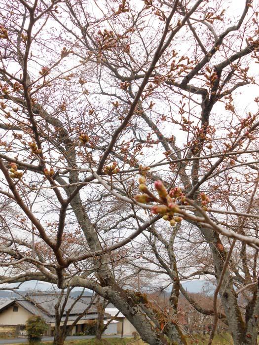 【中津川さくら情報】四ッ目川の桜が、ちらりほらりと・・・ border=