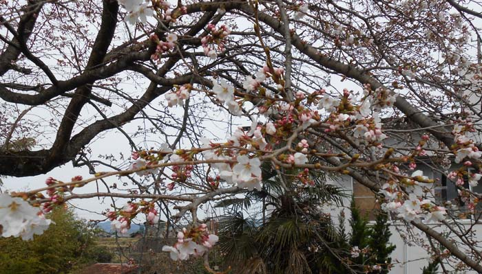 【中津川さくら情報】花曇の日が続きますね。今週末は咲き始めたお花見はいかが?