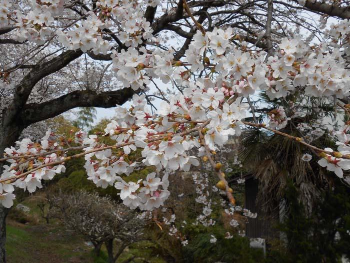 【中津川さくら情報】中津川に桜のベストシーズンがやってきました。 border=