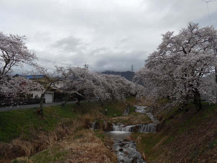 130403 sakurahasi.jpg