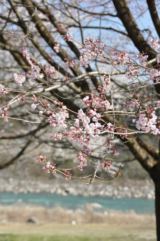 【中津川 花の季節】温かさに誘われて、桜がほころび始めました。 border=