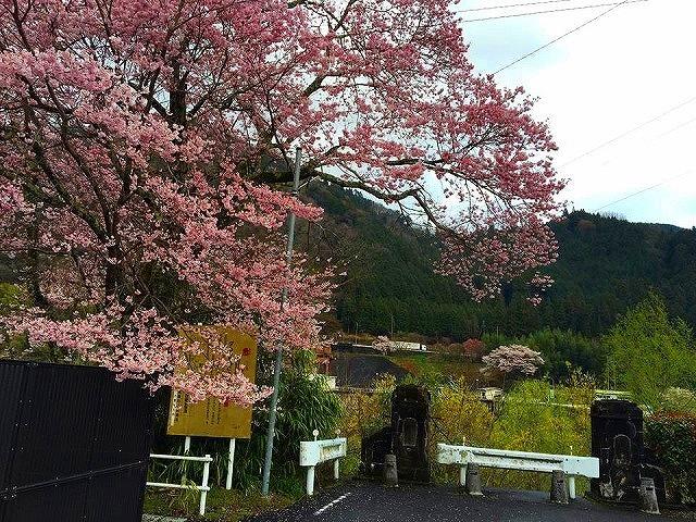 【恵那山ねっと 桜情報】旧弥栄橋の桜 border=