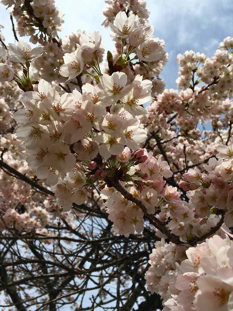 【恵那山ねっと 桜情報】4月10日(日)は椛の湖さくらまつりです。 border=