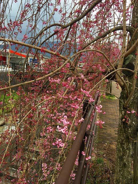 【四ツ目川 しだれ桜】春の小川はさらさらと...四ツ目川のしだれ桜が咲き始めました。 border=