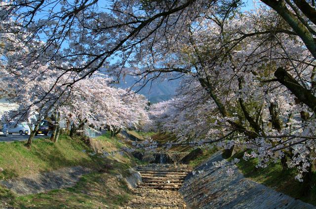 【中津川お花見情報】中津川市内の桜の名所の桜まつりをご紹介します。 border=